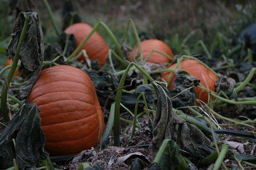 Pumpkin, Fall, Autumn, Field, Harvest, Countryside