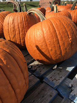 Pumpkin, Pumpkin Patch, Farm