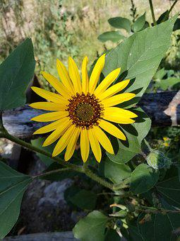 Flower, Yellow, Denver, Wild, Black-eyed Susan