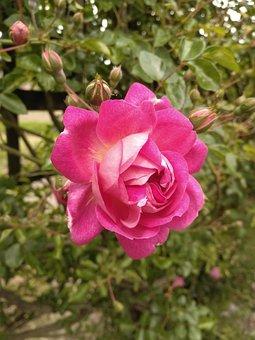 Rosa, Pink, Color, Green, Fuchsia, Bella
