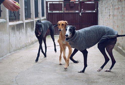 Dogs Playing, Spanish Galgo, Galgo Espanol, Saluki