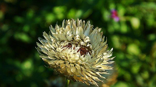 Dry Flower, Flower, Garden, Autumn, Perish, Grain
