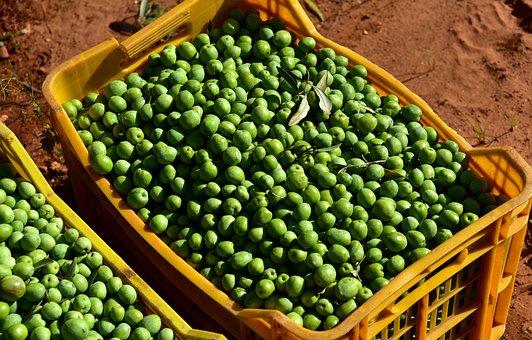 Olives, Green, Green Olives, Nocellara, Harvest