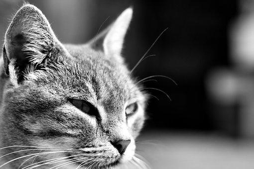 Cat, Malai, Animal, Kitten, Feline, Gray, Head, Home