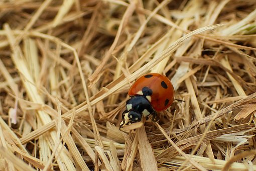 Ladybug, Beautiful, Beetle, Black, Bloom, Blossom