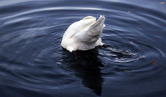 Swan, Bird, Water, Animal, Nature, Animal World, Lake