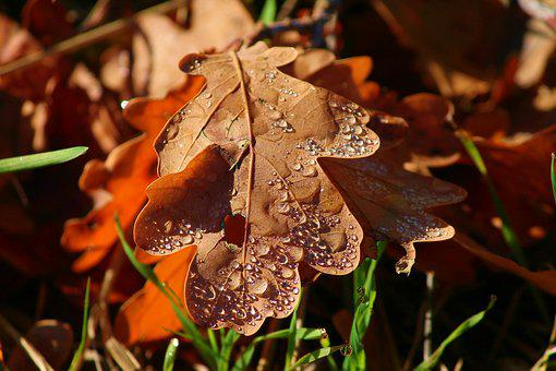 Morgentau, Leaf, Leaves, Brown, Fall Foliage, Drip