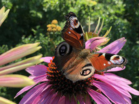 Butterfly, Summer, Peacock, Flower, Lilac, Red, Blue