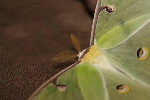 Moth, Luna, Luna Moth, Butterfly, Green