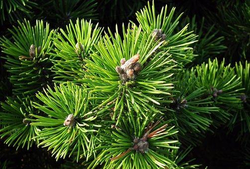 Tree, Mountain Pine, Green, Coniferous, Sprig, Nature