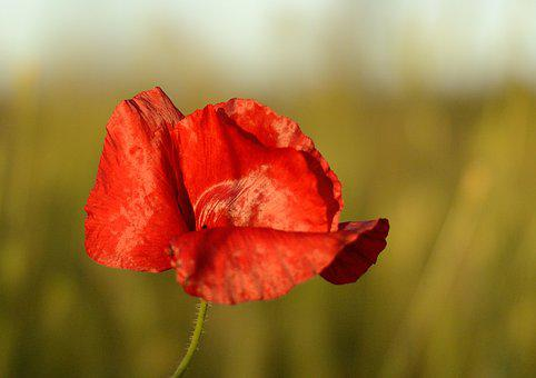 Poppy, Red, Nature, Field, Summer, Flowers, Klatschmohn