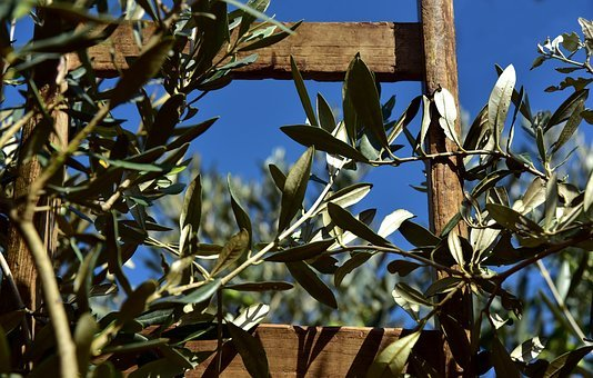Wooden Ladder, Rung, Olive Tree, Olive Branch