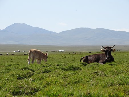 Mountains, Alpine Meadow, Pasture, Herd, Cow, Calf