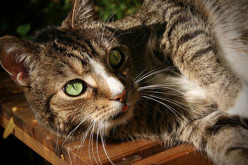 Pet, Domestic Cat, Cat, Mackerel, Cat's Eyes, Cat Face