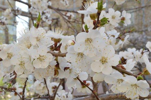 Spring, Flowers, Garden, White, Petals, Trees