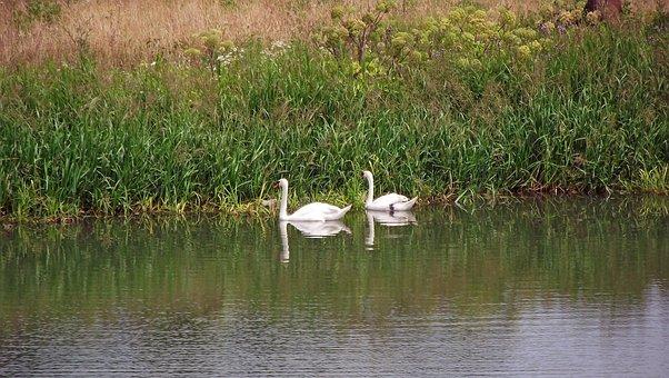 Swans, Birds, Lake, Nature, Plants, White, Landscape