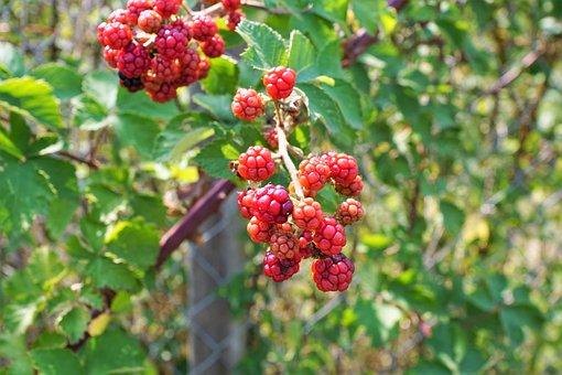 Raspberry, Tree, Nature, Fruit