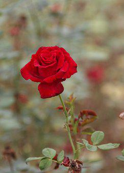 Chinese Rose, Red, Late Autumn
