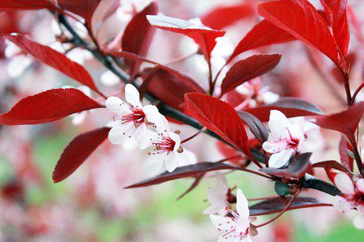 Tree, Red, Japanese, Flower, Pink, Plant