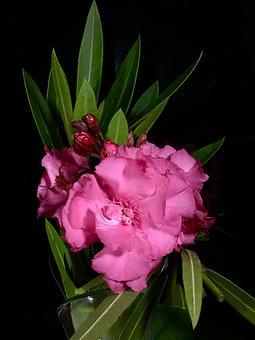 Pink Flower, Pink Petals, Flower, Rosa, Flora, Plant