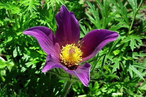 Flower, Sasanka, Purple, Spring, Garden, Macro