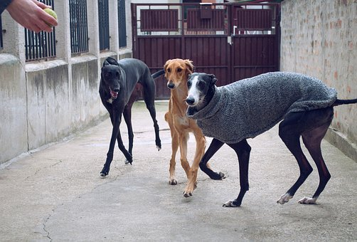 Dogs Playing, Spanish Galgo, Galgo Espanol, Saluki