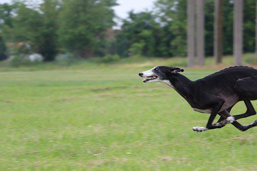 Galgo, Spanish Galgo, Spanish Greyhound, Lure Coursing