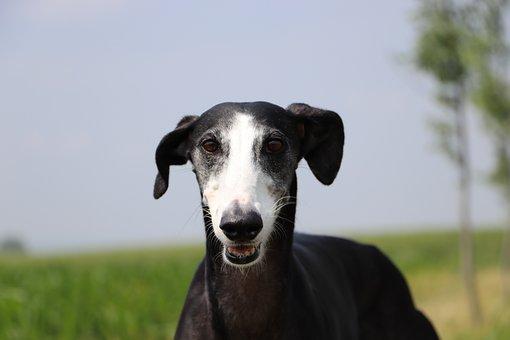 Spanish Galgo, Spanish Greyhound, Fast Dogs, Long Dog