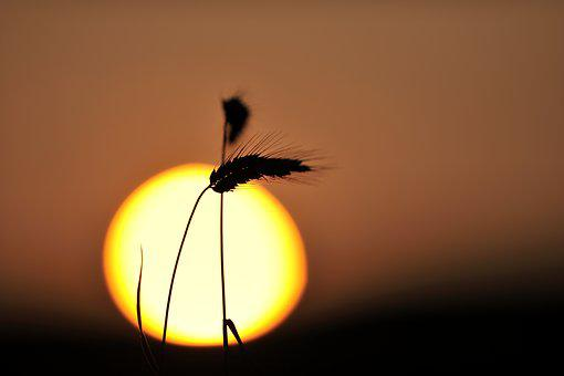 Cereals, Spike, Sun, Sunset, Sunrise, Mood, Evening