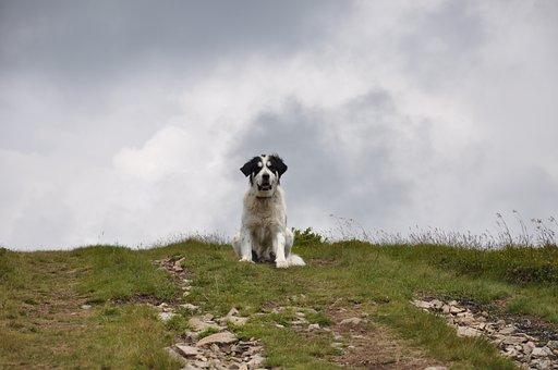 Dog, White Dog, Big Dog, Mountains, The Carpathians