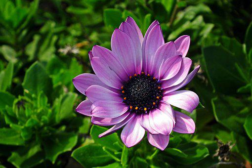 Flower, Violet, Autumn, Nature, The Petals, Garden