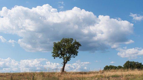 Trees, A Single Tree, Lone Tree, Valensole Plateau