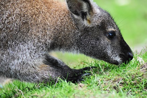 Wallaby, Animal, Australia, Australian, Beautiful