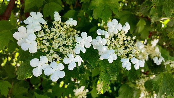 High Bush Cranberry, White Flower, Five Petal, Utah