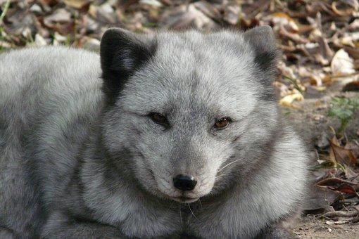 Polar Fox, Zoo, Animal World