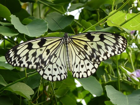 Butterfly, Black, White, Insect, Animal, Nature