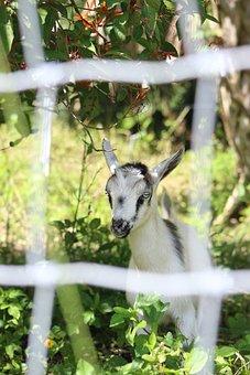 Goat, Farm, Animal, Nature, Mammal, Ruminant, Horns