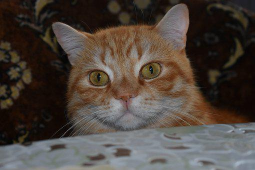 Cat, Redhead, Full Face, Large, Peeps, Curious, Animals
