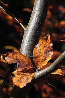 Foliage, Zeschłe List, Beech Leaves, Sprig, Autumn
