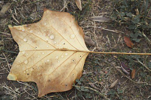 Leaf, Autumn, Nature, Leaves, Fall Foliage, Maple