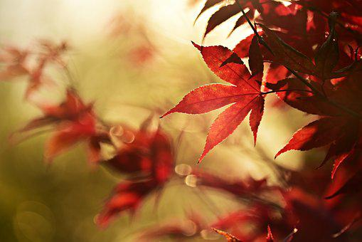 Autumn Leaf, Branch, Tree, Colorful, Red, Back Light