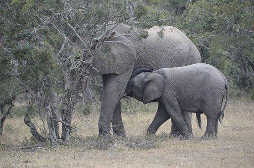 Baby Elephant, Têtée, Africa