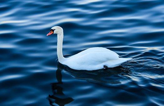 Swan, Lake, Nature, Water, Bird, Wild, Reflections