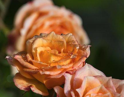 Rose, Blossom, Bloom, Plant, Flower, Flora, Yellow
