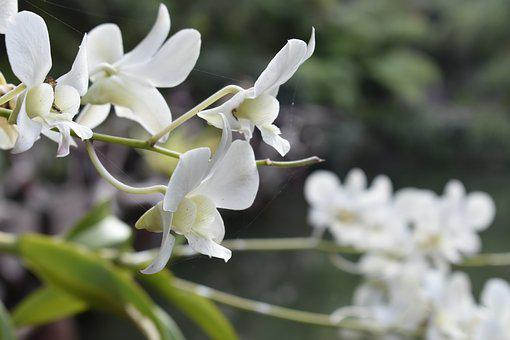 Orquid, Flora, Thai, Floral, Decorative, Blooming