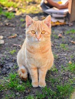 Cat, Kitten, Cute, Feline, Pet, Hairy, Domestic Cat