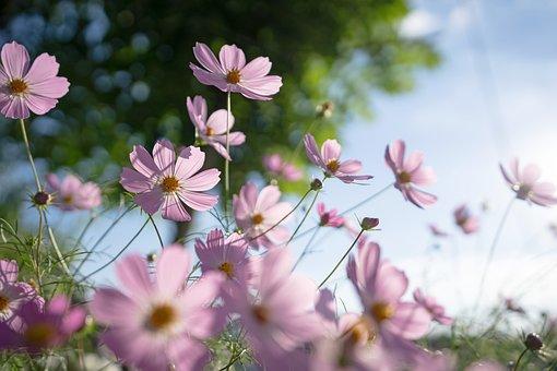 Cosmos, Flowers, Autumn, Nature, Plants, Flower Garden