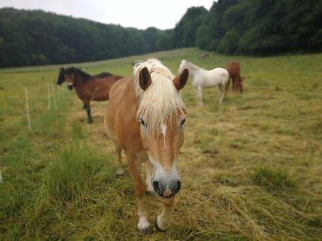 Horse, Pasture, Nature, Coupling, Graze, Horses, Mane