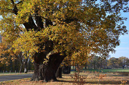 Oak, Deciduous Tree, Tree, Old, Centuries, All Tree