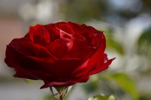 Flower, Rosa, Red, Petals, Close, Detail, Beauty, Plant
